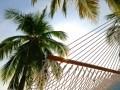 hammock-palm